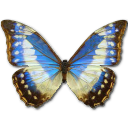 morphocypresscyanidesfemale,butterfly icon