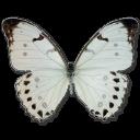 morpholunamale,butterfly icon