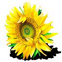 Flower, Plant, Sunflower icon