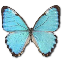 morphoportismale,butterfly icon