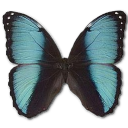 morphopseudogamedes,butterfly icon