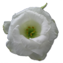 Wild Rose White 1 icon