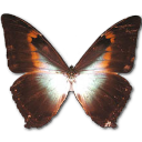 morphophanored,butterfly icon