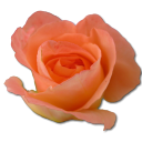 Rose peach 2 icon