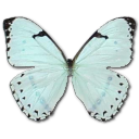 mintmorpho,butterfly icon