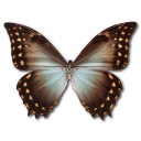 morphotheseusamphotrion,butterfly icon