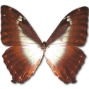 morphophanoblue,butterfly icon