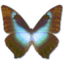 morphocissis,butterfly icon