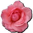 Pink, Rose, Wild icon