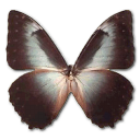 morphotelemachus,butterfly icon