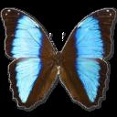 morphodeidamianeoptolomous,butterfly icon