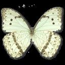 morphocatenariusunderside,butterfly icon