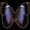 morphoachilleana,butterfly icon