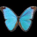 morphoabsoloni,butterfly icon