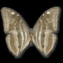 morphoadonishuallegabottom,butterfly icon