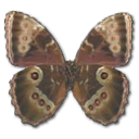 morphopeleidesmontezumaunderside,butterfly icon