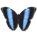 morphoachilles,butterfly icon