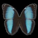 morphopatroclusorestesmale,butterfly icon